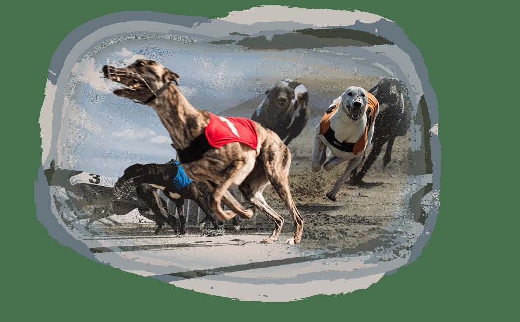 Premium Greyhound Racing Channel
